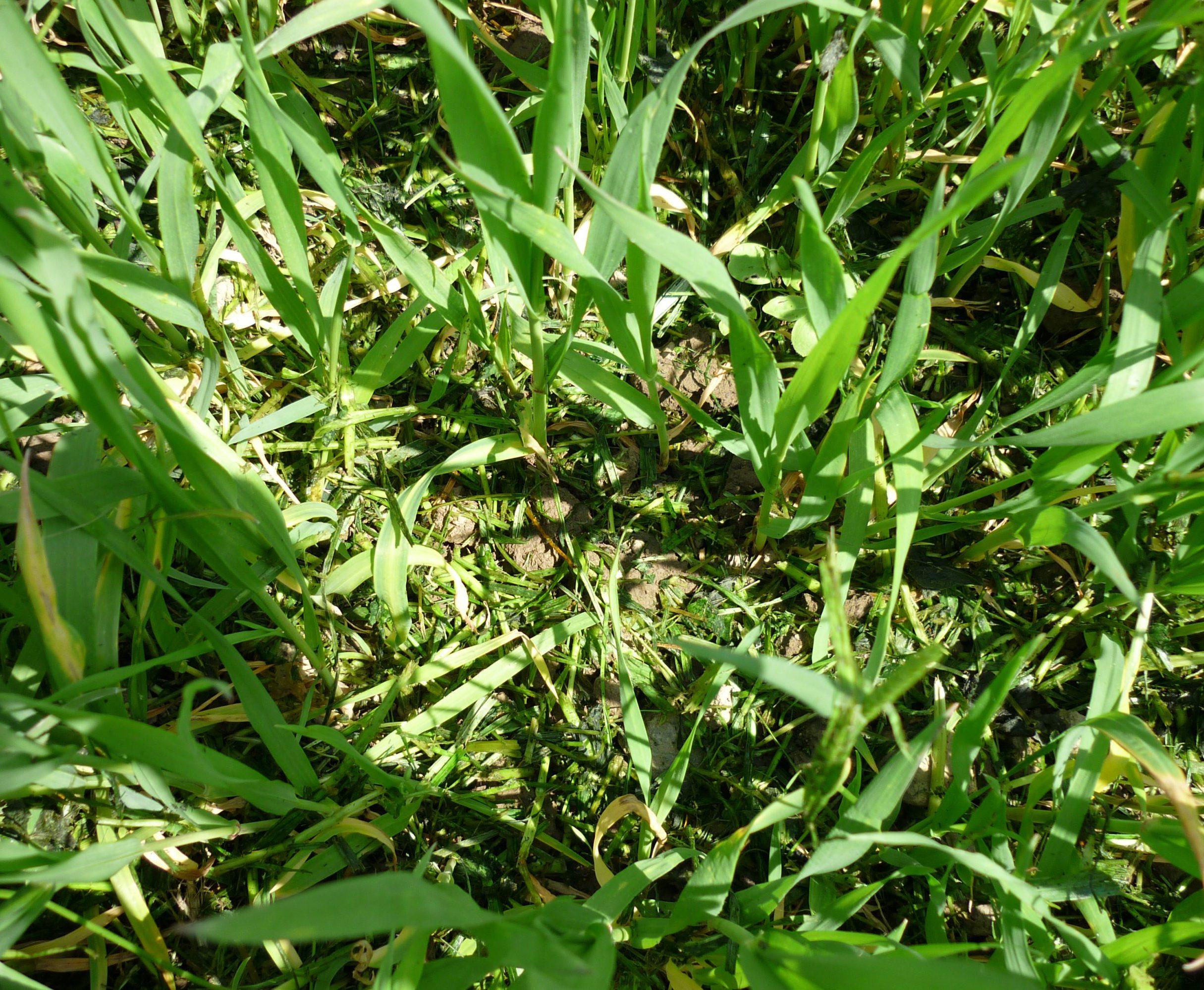 Kleegras im Getreide
